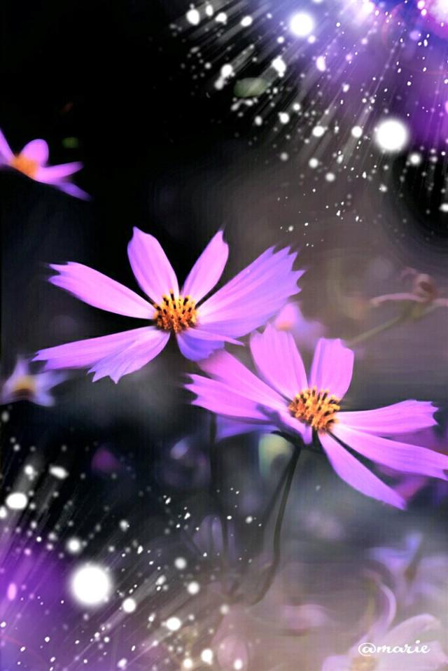 #pink #cosmos  #blossom  #starlightglimmer