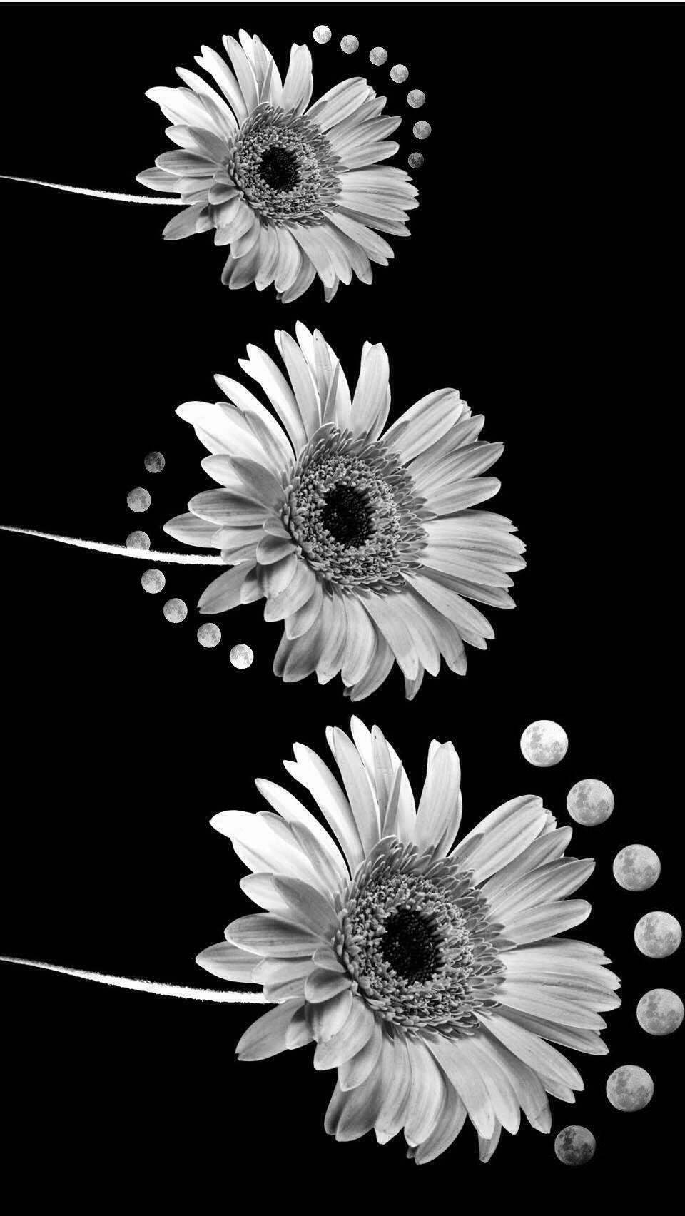 Flower Madelief Moon Blackandwhite Background Interesti