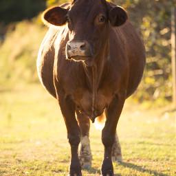 cow farm petsandanimals colorful bokeh