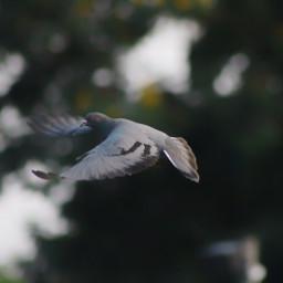 pigeon in flight canonrebelt5i wings
