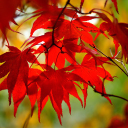 leaves autumn red yellow nature pcleaves freetoedit