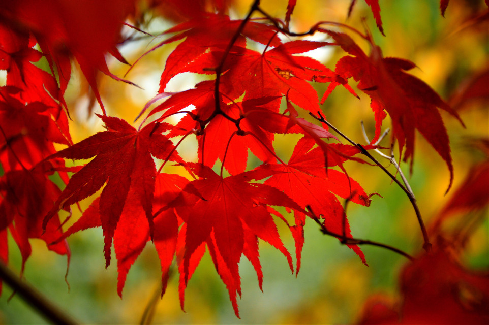 #leaves #autumn #red #yellow #nature #FreeToEdit