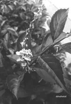 flower nature naturephotography blackandwhite black